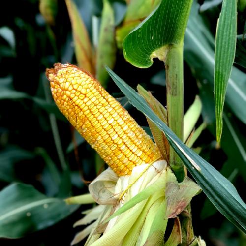 Milho Boliviano AGRI 340 - Preço 60.000 sementes