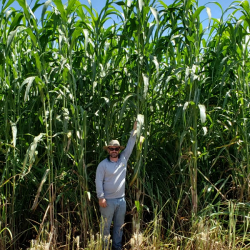 Sorgo Gigante Boliviano AGRI 002 - Preço por saco de 10 Kg