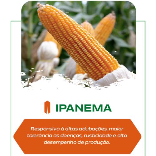 Semente de Milho Ipanema - Saco de 20 kg