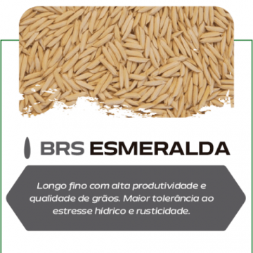 Semente de Arroz Esmeralda - 1 kg